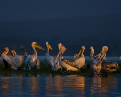 white pelicans and dalmatian pelicans, big white birds with yellow long beak, Pelecanus onocrotalus