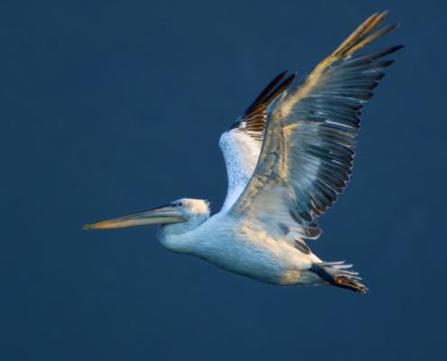 Dalmatian pelican, Pelecanus crispus, big white bird with long yellow beak, orange beak, wildlife nature photography