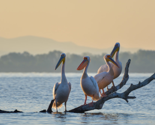Big white pelicans on the branch in Kerkini lake, branch in water, sunset, sunrise, nature photography, wildlife