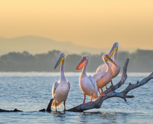 Great white pelican, Pelecanus onocrotalus, Pelikan różowy big white pink bird branch water sunrise sunset four birds sun light morning light nature photography Artur Rydzewski