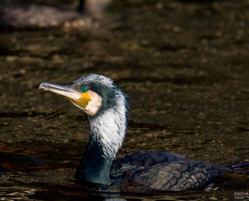 Ggreat cormorant, Phalacrocorax carbo, Kormoran zwyczajny, kormoran czarny, black water bird dark water