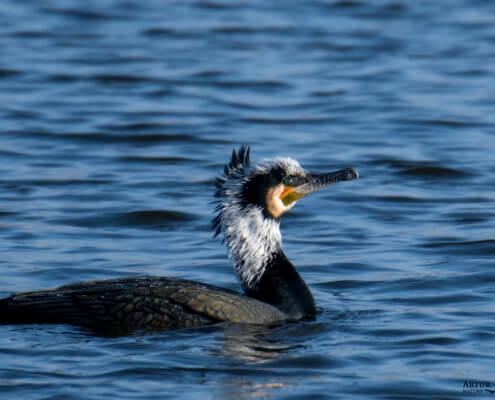 Ggreat cormorant, Phalacrocorax carbo, Kormoran zwyczajny, kormoran czarny, black water bird water, green eye