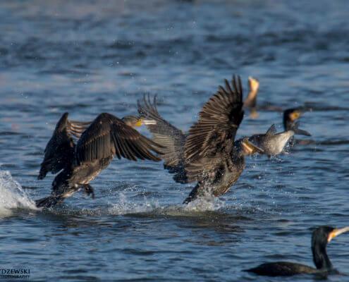 Ggreat cormorant, Phalacrocorax carbo, Kormoran zwyczajny, kormoran czarny, black water bird with fish, big fish water