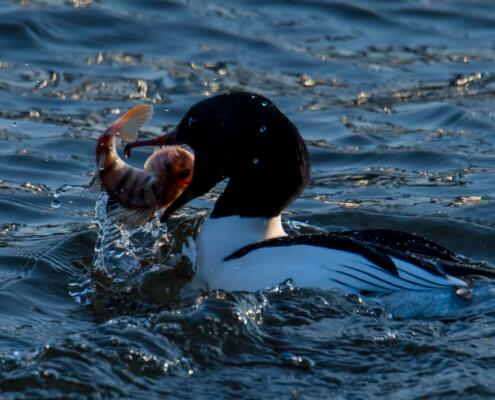 Common merganser, Goosander, Mergus merganser, Nurogęś river water bird cold winter fish in beak open bill red beak bird with fish
