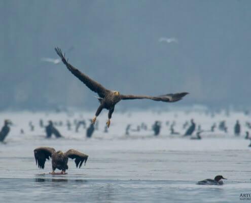 WHITE-TAILED EAGLE, HALIAEETUS ABICILLA, BIELIK flying bird of prey wildlife nature photography