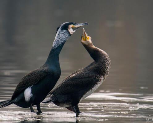 Ggreat cormorant, Phalacrocorax carbo, Kormoran zwyczajny, kormoran czarny, black water bird, do you love me, birds in live