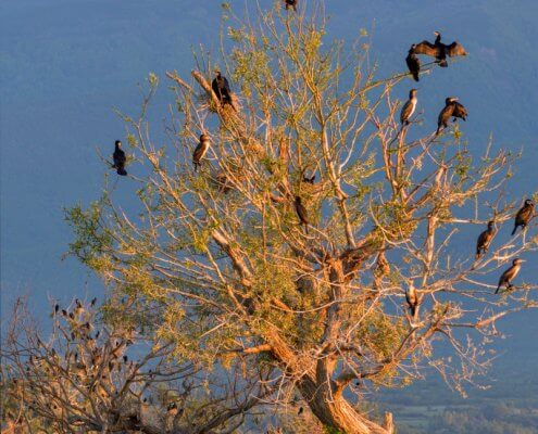 Great cormorant, Phalacrocorax Carbo, Kormoran Zwyczajny, tree in morning sun cormorant on it, cormorants on tree, landscape, birds, black birds, cormorants
