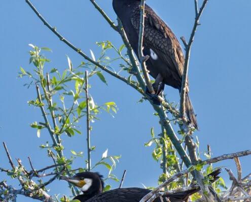 Great cormorant, Phalacrocorax Carbo, Kormoran Zwyczajny, cormorants on tree, nest, cormorants nest, nest on tree, nature, nature photography, birds, black birds