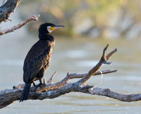 Great cormorant, Phalacrocorax Carbo, Kormoran Zwyczajny, cormorant on branch, branch, bird, black bird, nature photography, landscape