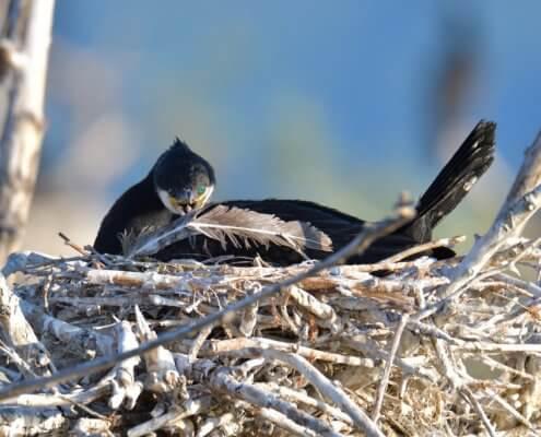 Great cormorant, Phalacrocorax Carbo, Kormoran Zwyczajny, cormorant in nest, nest, feather, close up, black bird, nature photography