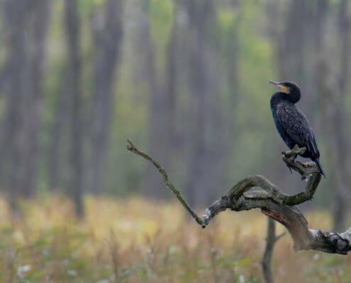The great cormorant, Phalacrocorax carbo, great black cormorant, black cormorant, large cormorant, black shag, kormoran, kormoran zwyczajny, forest, water bird, blaack bird, bird, wild life, nature, nature photography, tree, wood branch