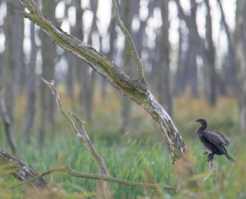 The great cormorant, Phalacrocorax carbo, great black cormorant, black cormorant, large cormorant, black shag, kormoran, kormoran zwyczajny, forest, water bird, blaack bird, bird, wild life, nature, nature photography