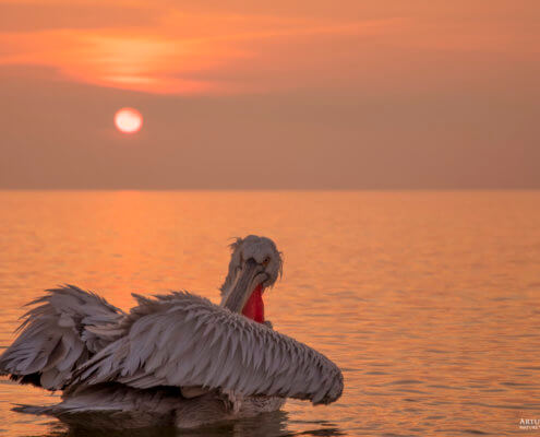 Dalmatian pelican, Pelecanus crispus, Pelikan kędzierzawy close up bird eye feathers closup orange red beak bill nose sun light nature wild life water river sunrise sunset wings calm waterscape