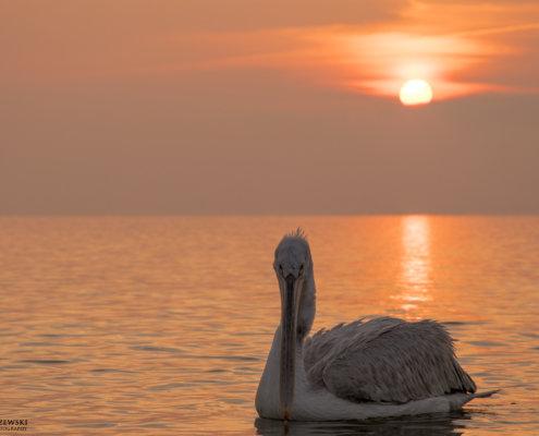 Dalmatian pelican, Pelecanus crispus, Pelikan kędzierzawy close up bird eye feathers closup orange red beak bill nose sun light nature wild life water river sunrise sunset calm waterscape