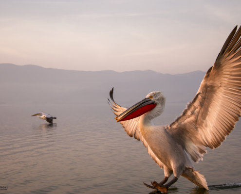 Dalmatian pelican, Pelecanus crispus, Pelikan kędzierzawy close up bird eye feathers closup orange red beak bill nose sun light nature wild life water river sunrise sunset wingspan hills background