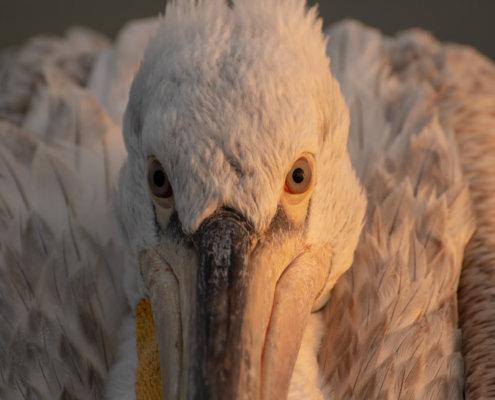Dalmatian pelican, Pelecanus crispus, Pelikan kędzierzawy close up bird eye feathers closup orange red beak bill nose sun light nature wild life water river sunrise sunset plumage