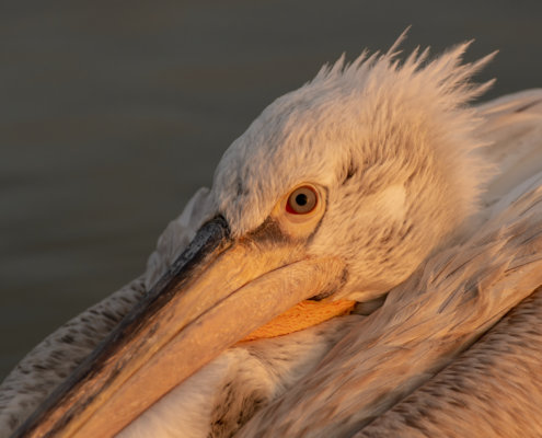 Dalmatian pelican, Pelecanus crispus, Pelikan kędzierzawy close up bird eye feathers closup orange red beak bill nose sun light nature wild life water river sunrise sunset