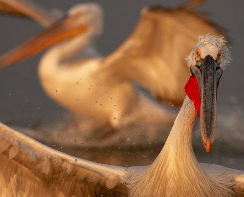 Dalmatian pelican, Pelecanus crispus, Pelikan kędzierzawy close up bird eye feathers closup orange red beak bill nose sun light nature wild life water river sunrise sunset wingspan funny head