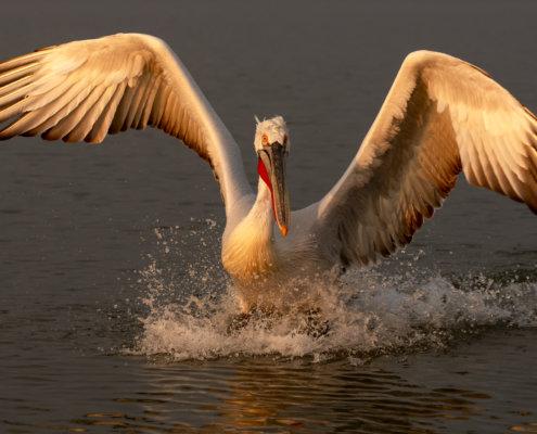 Dalmatian pelican, Pelecanus crispus, Pelikan kędzierzawy close up bird eye feathers closup orange red beak bill nose sun light nature wild life water river sunrise sunset wingspan landing bird