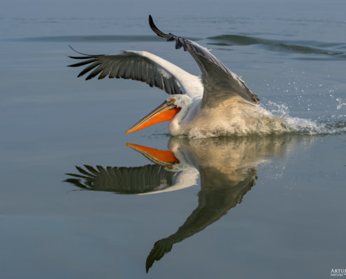 Dalmatian pelican, Pelecanus crispus, Pelikan kędzierzawy close up bird eyes feathers closup orange red beak bill nose sun light nature wild life water river wingspan