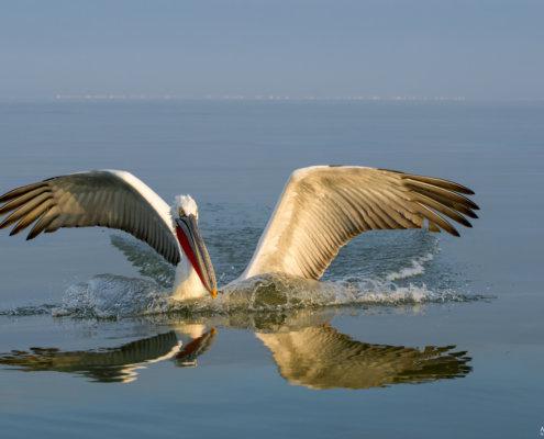 Dalmatian pelican, Pelecanus crispus, Pelikan kędzierzawy Kerkini lake close up bird eyes feathers closup orange red beak bill nose sun light nature wild life water river