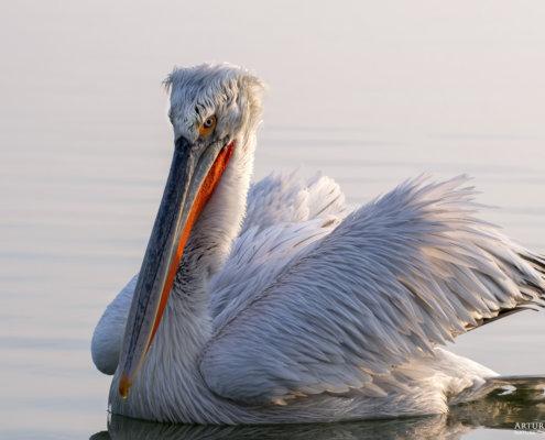 Dalmatian pelican, Pelecanus crispus, Pelikan kędzierzawy close up bird head eyes feathers closup big head orange beak bill nose sun light nature wild life