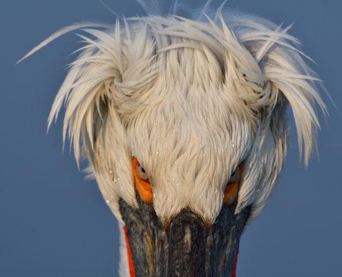 Dalmatian pelican, Pelecanus crispus, Pelikan kędzierzawy close up bird head eyes feathers closup big head orange drops of water blue background