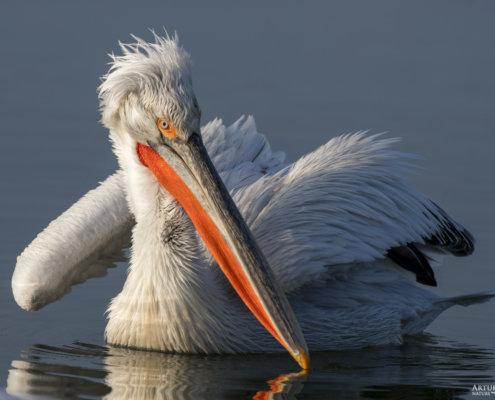 Dalmatian pelican, Pelecanus crispus, Pelikan kędzierzawy close up bird head eye feathers closup big head orange beak bill feathers plumage water reflection