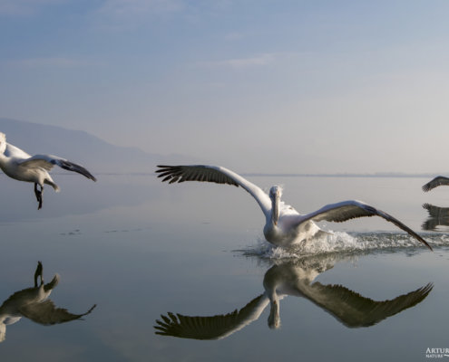 Dalmatian pelican, Pelecanus crispus, Pelikan kędzierzawy feathers plumage flying birds wingspan hills blue background