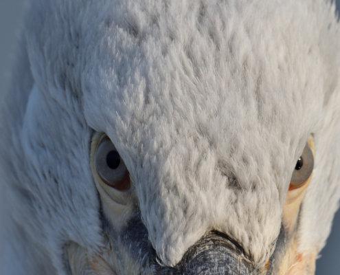 Dalmatian pelican, Pelecanus crispus, Pelikan kędzierzawy close up bid head eyes feathers closup big head