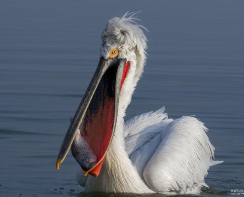 Dalmatian pelican, Pelecanus crispus, Pelikan kędzierzawy Kerkini lake water big red beak bird's bill close up fish in beak fish in bill fish