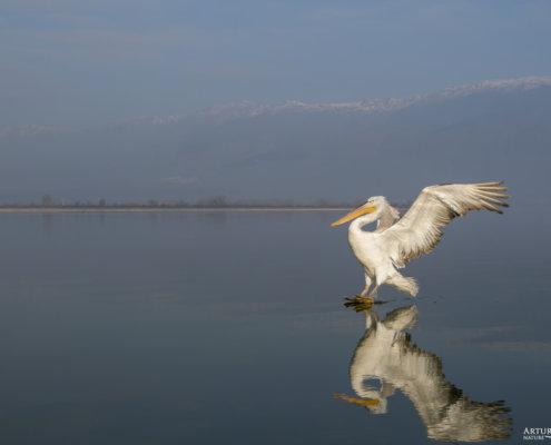 Dalmatian pelican, Pelecanus crispus, Pelikan kędzierzawy Kerkini lake water reflection red beak close up wingspan hills landing bird blue background
