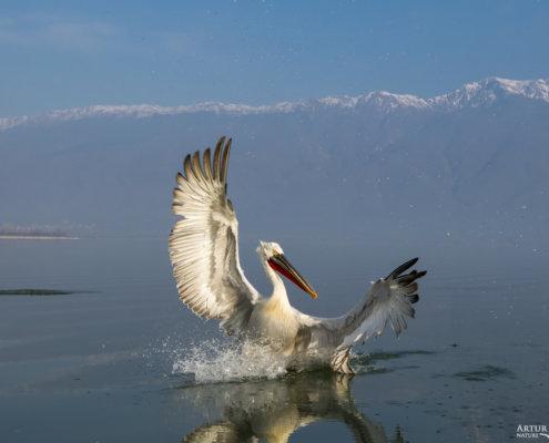 Dalmatian pelican, Pelecanus crispus, Pelikan kędzierzawy Kerkini lake water red beak close up wingspan hills landing bird flying bird mountain background