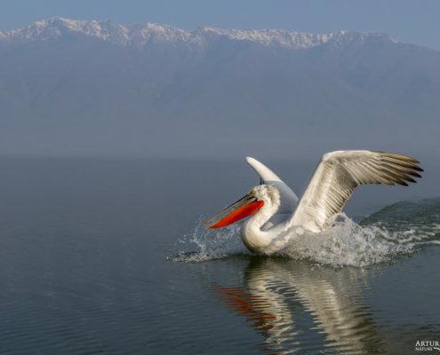 Dalmatian pelican, Pelecanus crispus, Pelikan kędzierzawy Kerkini lake water red beak close up wingspan hills landing bird flying bird mountain river