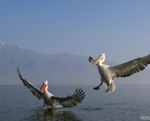 Dalmatian pelican, Pelecanus crispus, Pelikan kędzierzawy Kerkini lake water red beak close up wingspan hills landing birds flying birds mountains