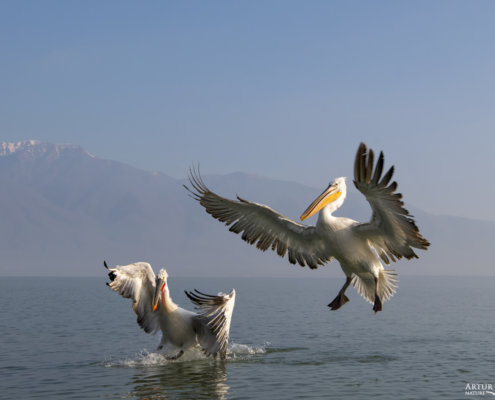 Dalmatian pelican, Pelecanus crispus, Pelikan kędzierzawy Kerkini lake water red beak close up wingspan hills landing birds flying birds