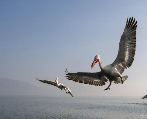 Dalmatian pelican, Pelecanus crispus, Pelikan kędzierzawy Kerkini lake water reflection red beak close up wingspan flying birds