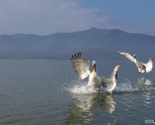 Dalmatian pelican, Pelecanus crispus, Pelikan kędzierzawy Kerkini lake water reflection red beak close up wingspan hills