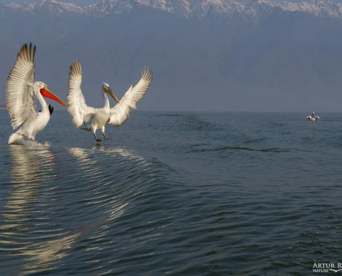 Dalmatian pelican, Pelecanus crispus, Pelikan kędzierzawy Kerkini lake water red beak close up wingspan mountain