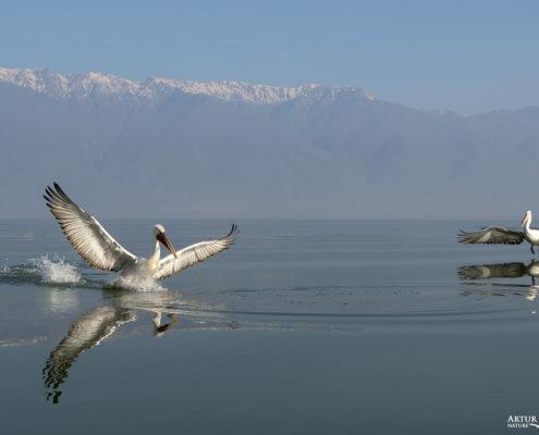 Dalmatian pelican, Pelecanus crispus, Pelikan kędzierzawy Kerkini lake water reflection red beak close up wingspan mountain flying bird