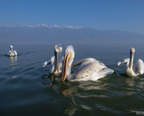 Dalmatian pelican, Pelecanus crispus, Pelikan kędzierzawy Kerkini lake water red beak close up wingspan hills
