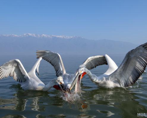 Dalmatian pelican, Pelecanus crispus, Pelikan kędzierzawy Kerkini lake water reflection red beak close up wingspan mountain