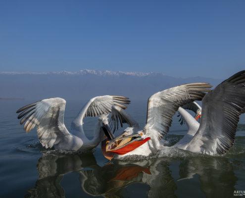 Dalmatian pelican, Pelecanus crispus, Pelikan kędzierzawy Kerkini lake water reflection red beak close up wingspan hills mountain