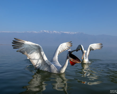 Dalmatian pelican, Pelecanus crispus, Pelikan kędzierzawy Kerkini lake water reflection red beak close up wingspan open beak