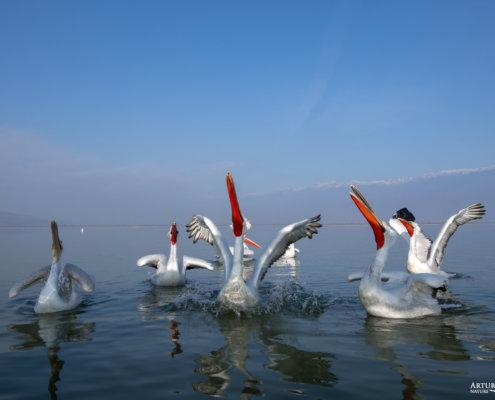 Dalmatian pelican, Pelecanus crispus, Pelikan kędzierzawy Kerkini lake water reflection red beak close up wingspan birds