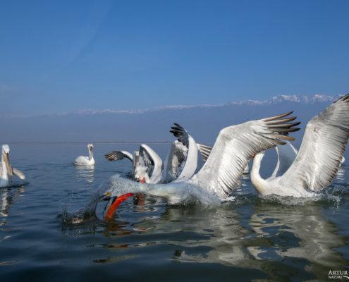 Dalmatian pelican, Pelecanus crispus, Pelikan kędzierzawy Kerkini lake water reflection red beak close up wingspan hill background