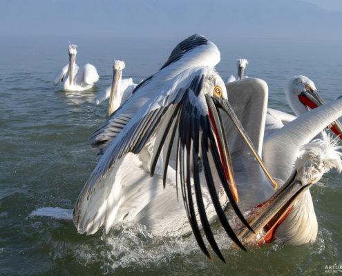 Dalmatian pelican, Pelecanus crispus, Pelikan kędzierzawy Kerkini lake water red open beak close up wingspan