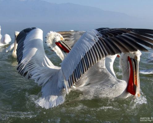 Dalmatian pelican, Pelecanus crispus, Pelikan kędzierzawy Kerkini lake water red beak close up wingspan black wings white bird