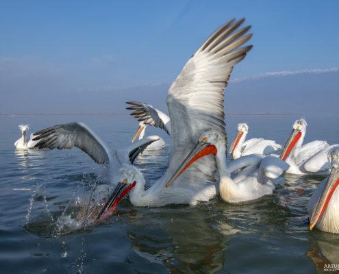 Dalmatian pelican, Pelecanus crispus, Pelikan kędzierzawy Kerkini lake water reflection red beak close up wingspan