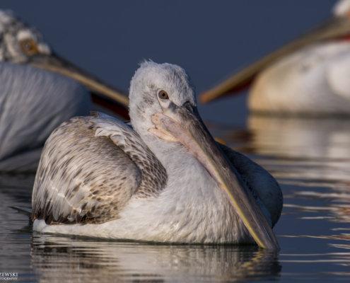 Dalmatian pelican, Pelecanus crispus, Pelikan kędzierzawy Kerkini lake water reflection nose beak close up
